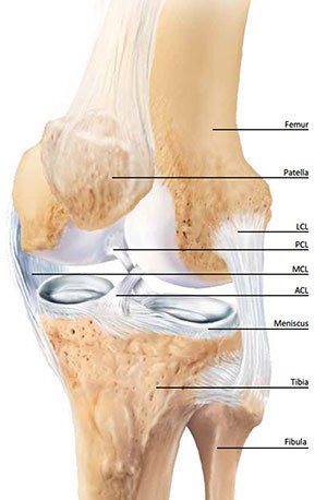 Anatomy and function of the knee first baptist medical center the knee is a complex joint made up of bones muscles tendons ligaments and cartilage it may be described as a hinge joint similar to the hinge on a ccuart Choice Image